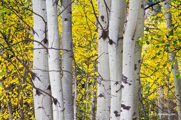 Colorful Autumn Aspen Tree Colonies